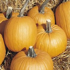 Pumpkin Tom Fox - 25 seeds